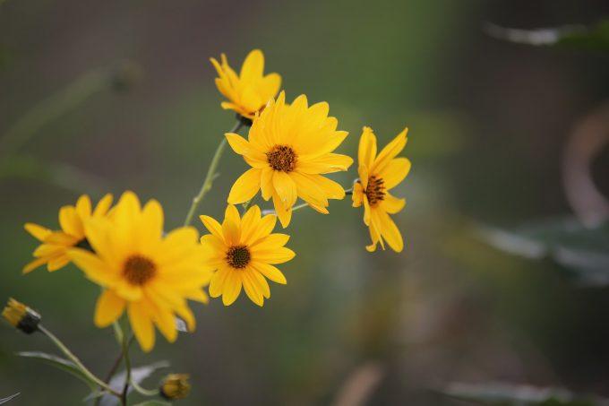 Fleurs d'Arnica sur le sentier ethnobotanique du Pied du Col à Villar d'arène