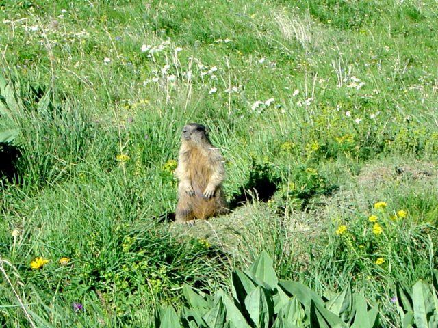 Marmotte alpe de Villar
