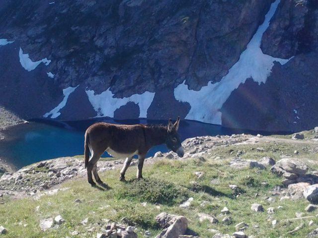 L'Ane du Refuge au pied du lac Puy Vachier