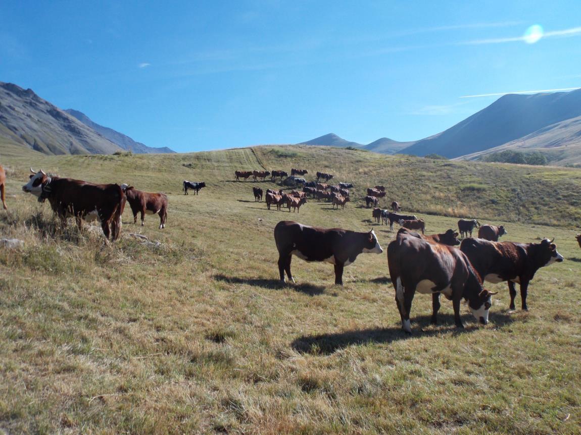 Foire aux bovins (3)
