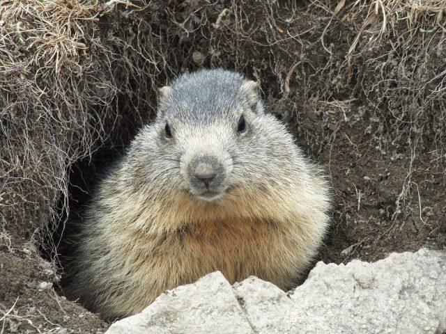 Marmotte gros plan