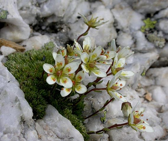Jardin Botanique Alpin du Lautaret (15)