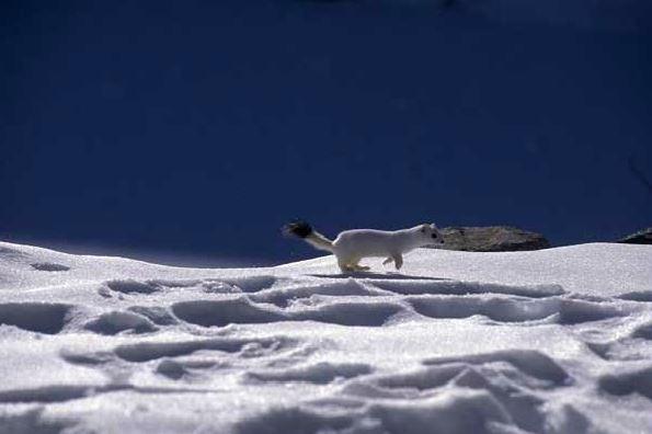 Accompagnez un Garde-Moniteur à la recherche des traces de la faune en hiver (10)