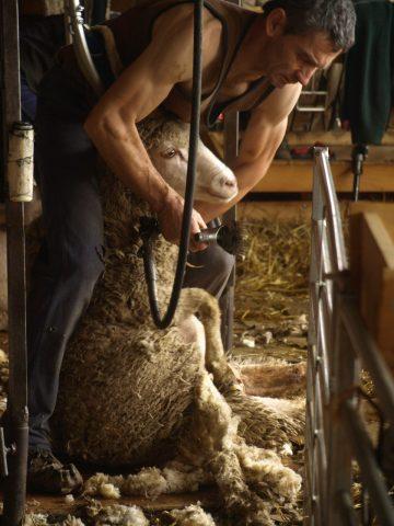 tonte des moutons 1