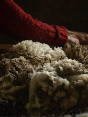 tonte des moutons 4