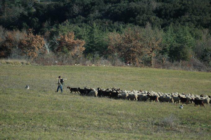 troupeau dans les paturages