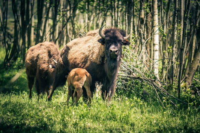 La ferme des bisons
