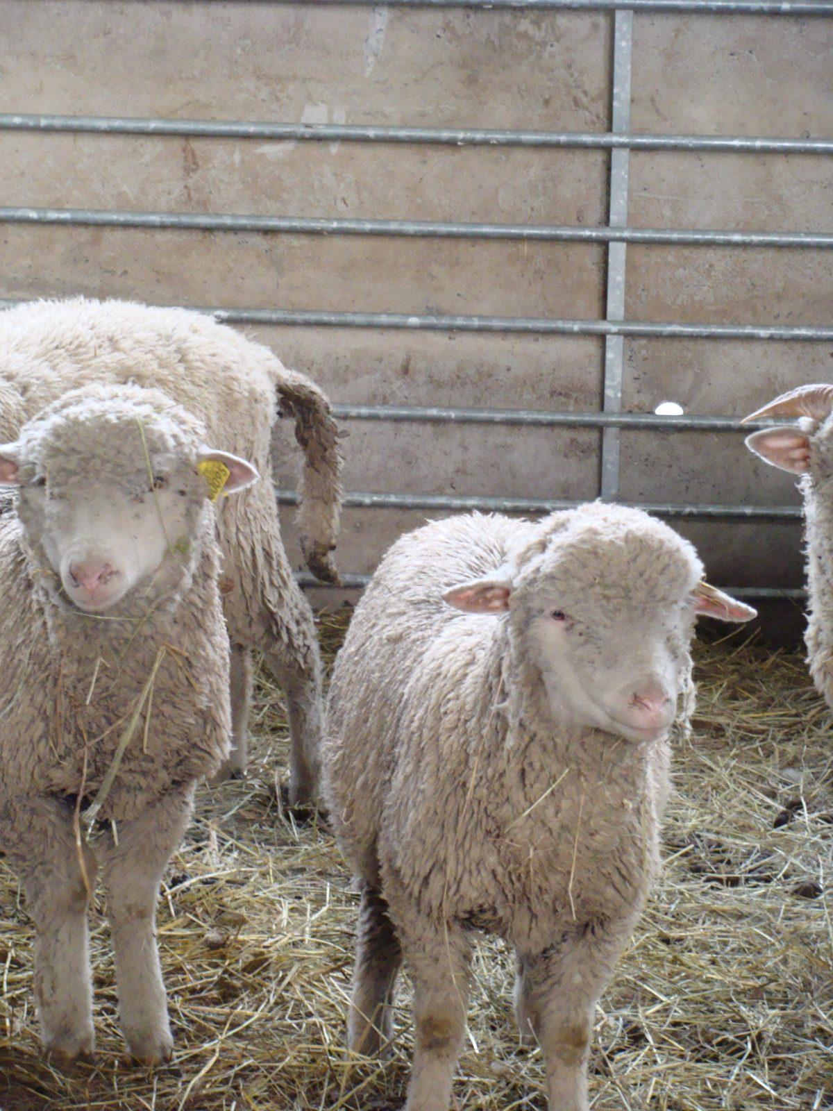 La Ferme des Bisons de l'Oisans – Éleveur de bisons et agneaux – Ferme découverte (6)