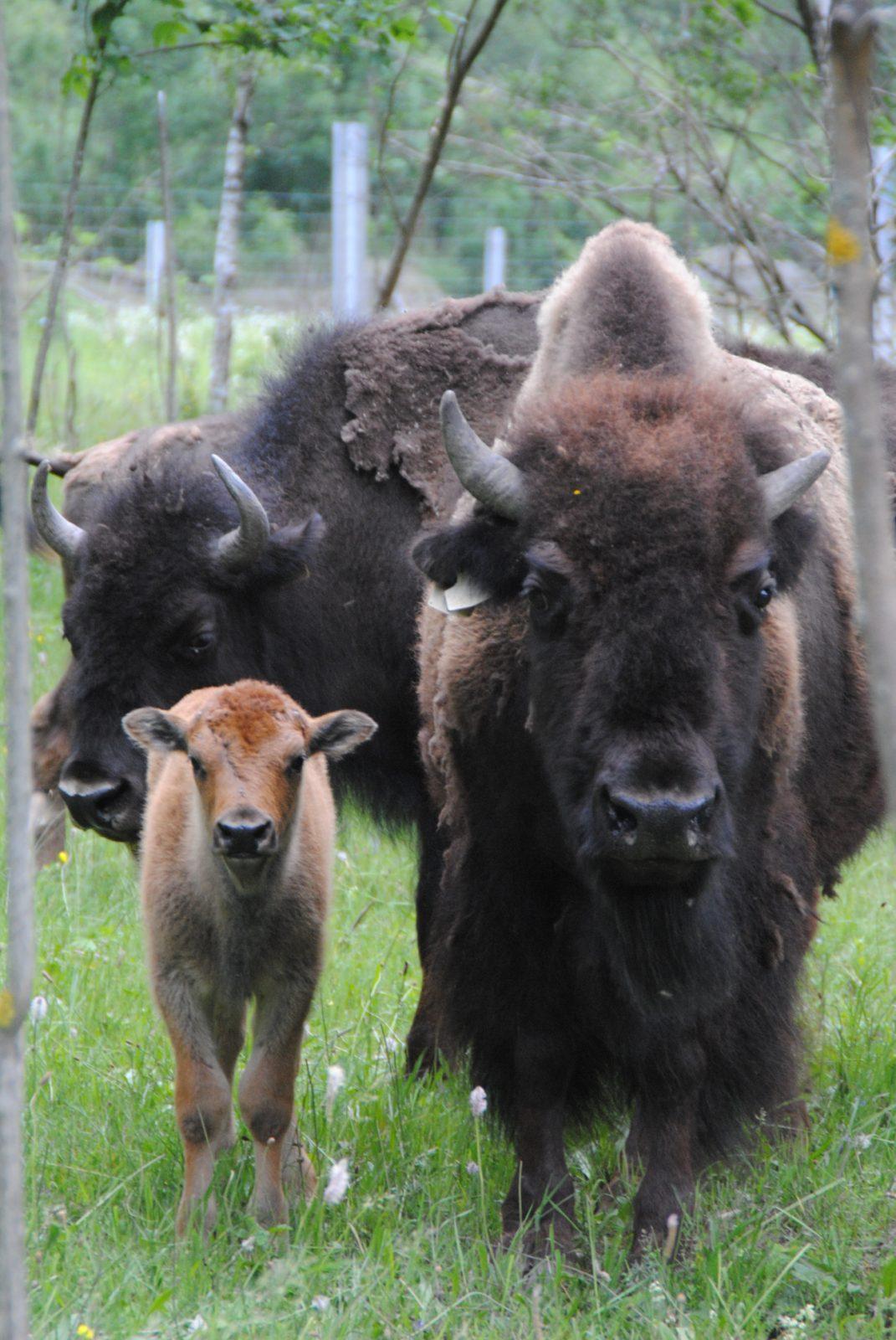 Annulé -Visite de la Ferme des Bisons de l'Oisans (10)
