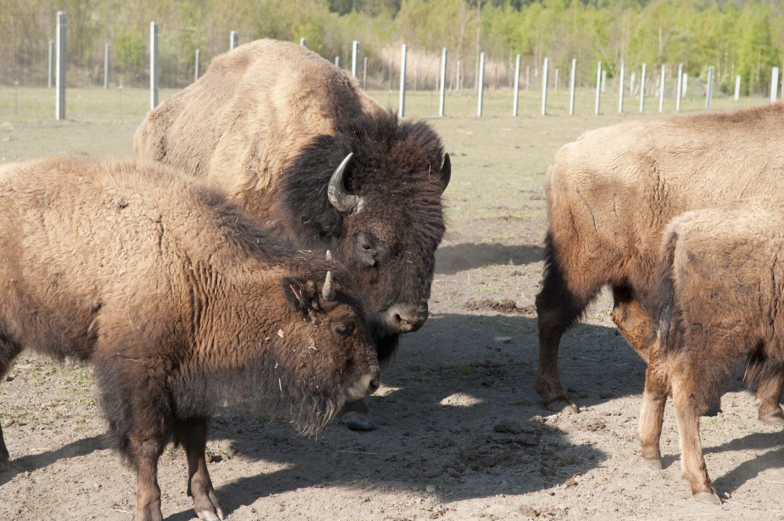 Annulé -Visite de la Ferme des Bisons de l'Oisans (13)