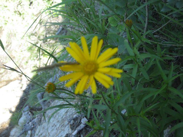 Belle fleur de nos montagnes