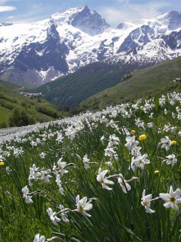 Champs de Narcisses au Chazelet